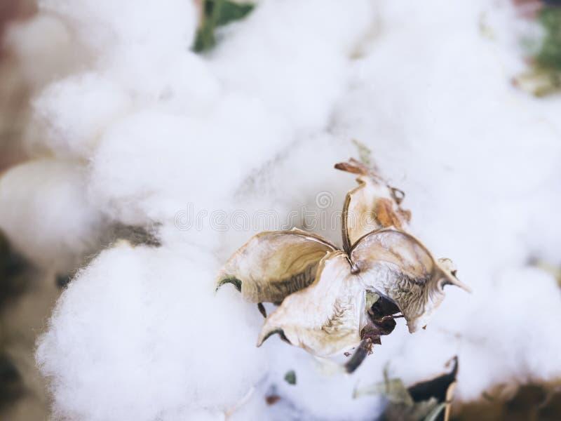 textiled的棉树花有机原材料 免版税库存图片