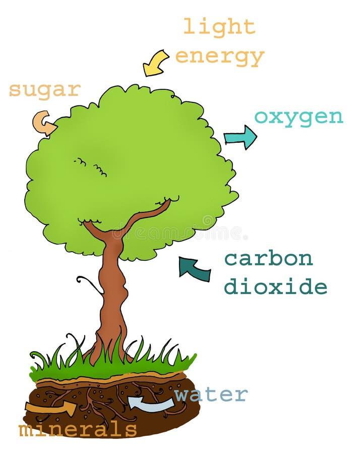 Texto da planta da fotossíntese ilustração stock