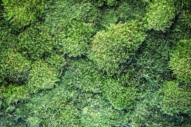 Textur av dekorativ levande mossa på väggen, ekologisk dekor arkivfoton