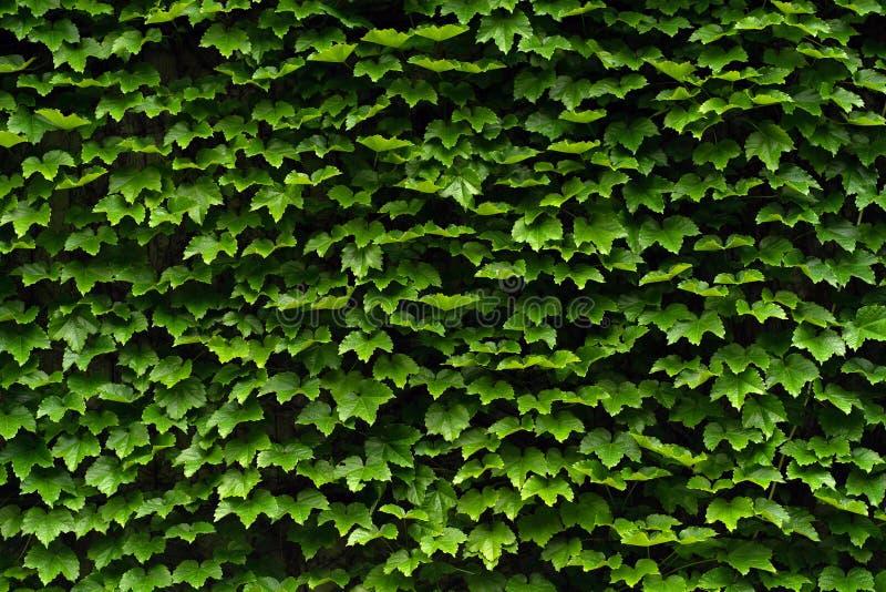 Textur av den gröna häcken på en vägg royaltyfri fotografi