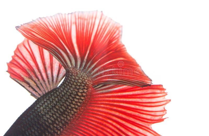 Textur av den siamese stridighetfisken för svans fotografering för bildbyråer