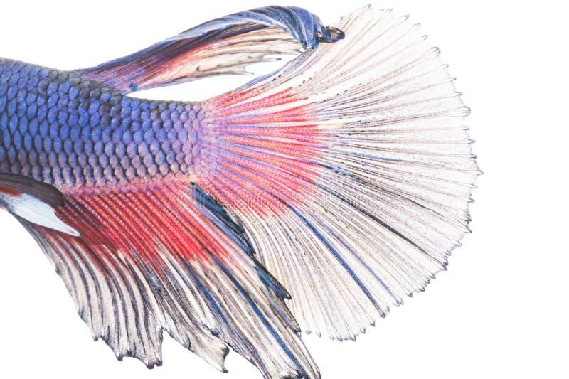 Textur av den siamese stridighetfisken för svans royaltyfri fotografi