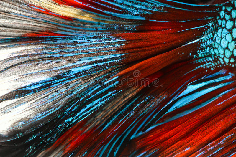 Textur av den siamese stridighetfisken för svans royaltyfria bilder