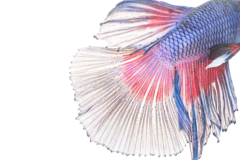 Textur av den siamese stridighetfisken för svans royaltyfri bild