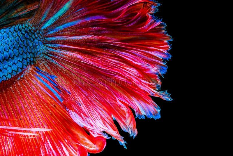 Textur av den siamese stridighetfisken för svans arkivfoton