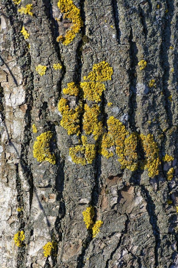 Textur av det gamla pilskället Gammalt stort växa för träd royaltyfri fotografi