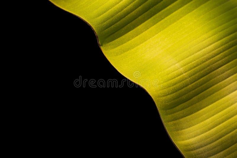 Textur av det nya gröna bananbladet som isoleras på svart Sparat med royaltyfri bild