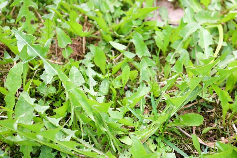 Textur av en växt; gröna nya maskrossidor mot en bakgrund fotografering för bildbyråer