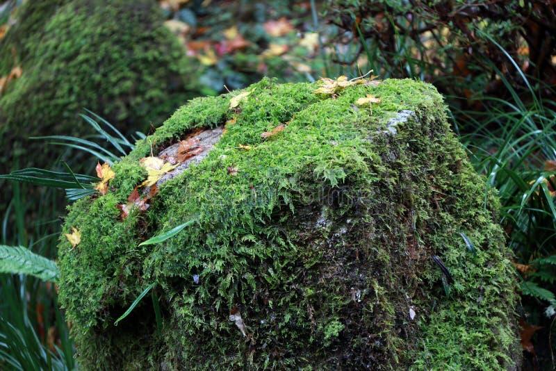 Textur av grön lavmossa på vagga i trädgården arkivbild