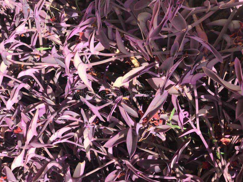 Textur av härliga färgrika purpurfärgade unika exotiska nya ljusa små sidor av växter, buskar i Egypten grönska för abstraktionba arkivfoton