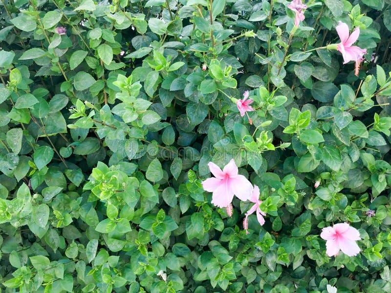 Textur av härliga festliga rosa purpurfärgade naturliga anbudblommor med kronblad mot bakgrunden av sidor och kopian för grön väx arkivfoton