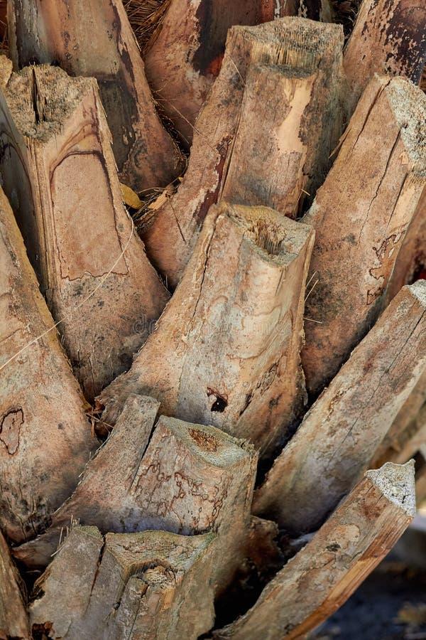 Textur av palmträdcloseupen Gömma i handflatan stamslutet upp Palmträdtextur Träfilialcloseup royaltyfri foto