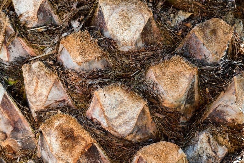 Textur av palmträdstamslutet upp arkivfoto