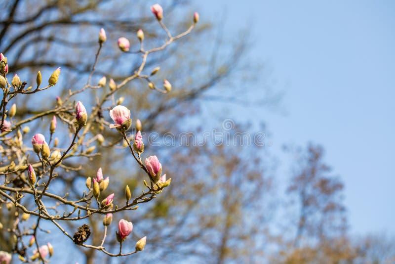 Textur av rosa blommor för magnolia Härlig magnolia på blå himmel fotografering för bildbyråer