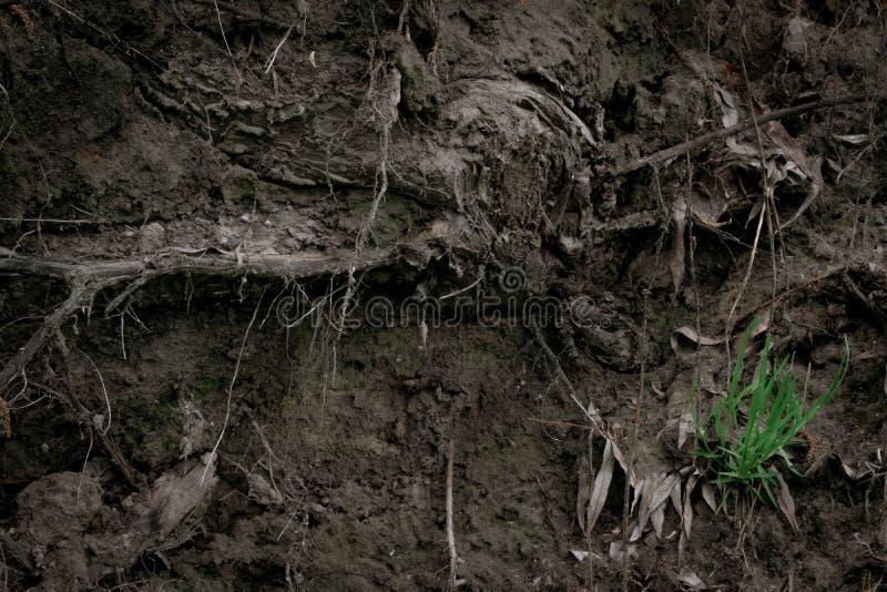 Textur av rotar av ett gammalt träd i jordningen med grönt gräs och spindelnät Volymtapet royaltyfri foto