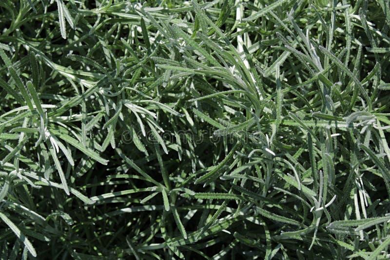 Textur av sidor för italicum för curryväxtHelichrysum arkivbild