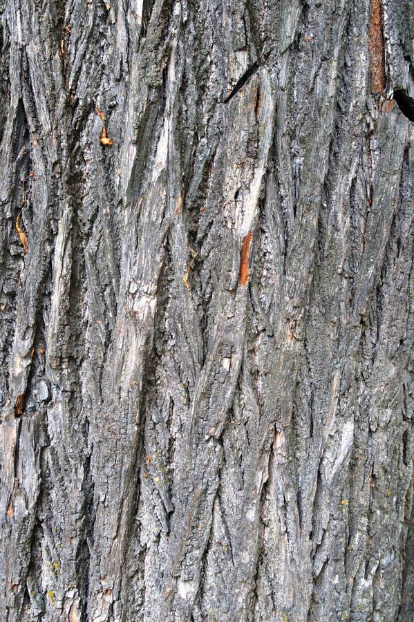 Textur av skället av ett gammalt stort träd arkivfoto
