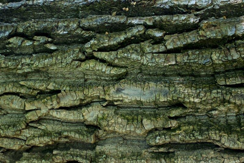 Textur av trädskället royaltyfria bilder