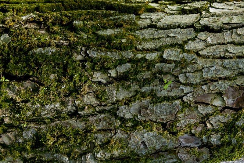 Textur av trädskället royaltyfri foto