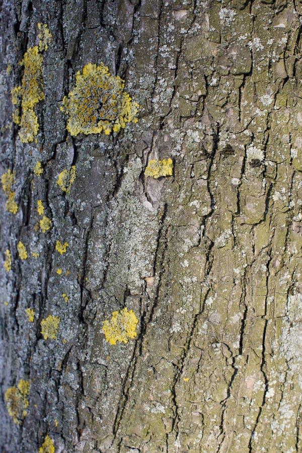 Textur av trädskället, med laven och mossa arkivfoto
