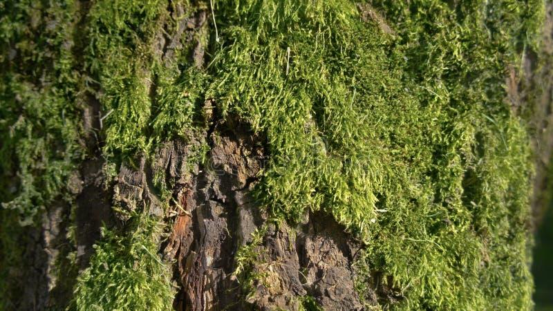 Textur av trädskället med mossa royaltyfria bilder