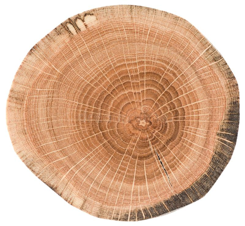 Textur för ekträ Trädskiva med tillväxtcirklar som isoleras på vit bakgrund royaltyfri foto