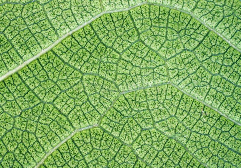 textur för leaf för bakgrundscloseupgreen frodig royaltyfri bild