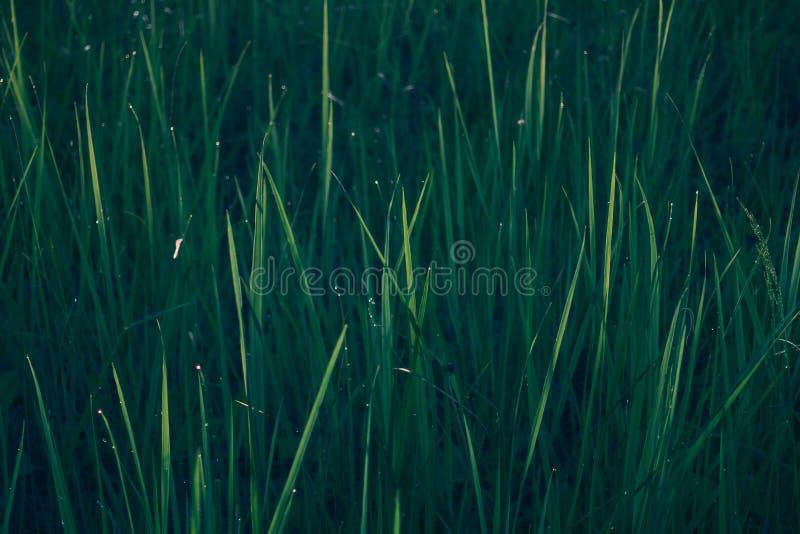 textur för naturlig bakgrund för grönt gräs royaltyfri bild