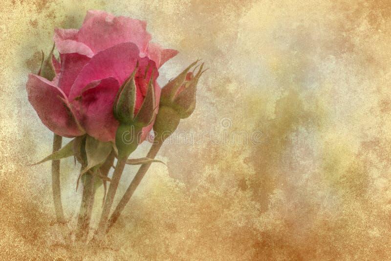 Textur för rosa färgrosgrunge arkivbilder