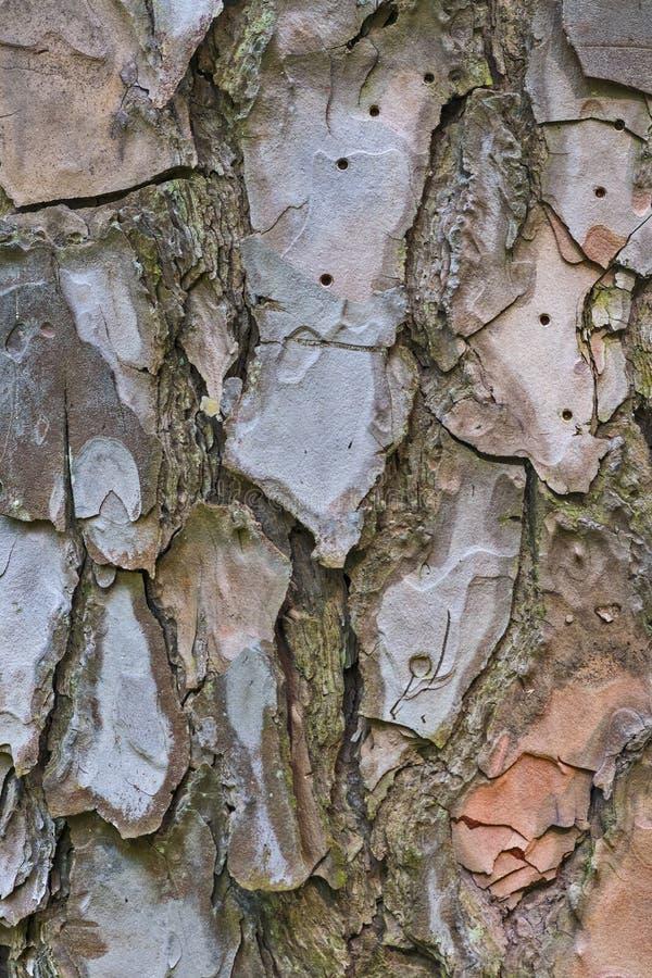 Textur för trädskäll med det spruckna skället arkivfoto