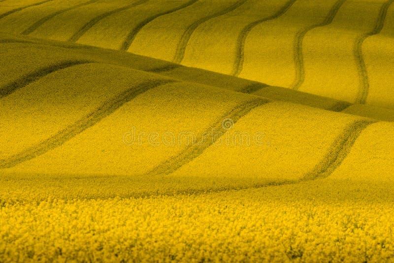Textur med våldtar Gult krabbt rapsfröfält med band Lantligt landskap för manchestersommar i gula signaler yellow för sommar för  arkivfoton