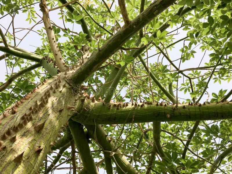 A textura é uma árvore verde de madeira, plantas do chorizion com ramos com o grande thor espinhoso natural terrível convexo peri foto de stock royalty free