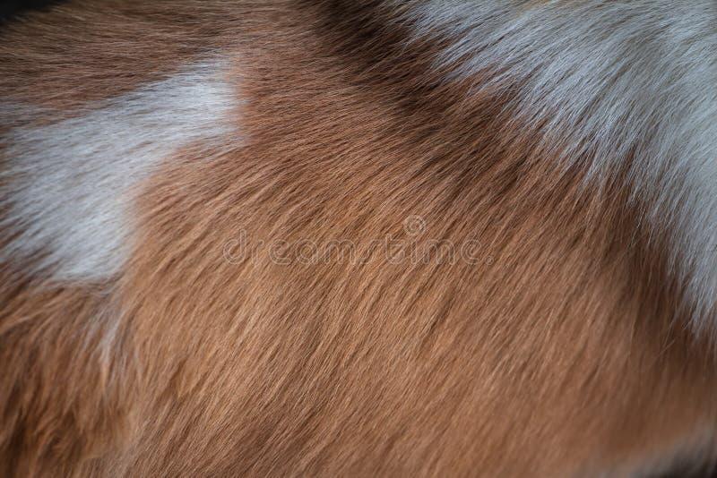 Textura abstrata da pele marrom e branca do cão Qual é usado como o fundo imagem de stock royalty free