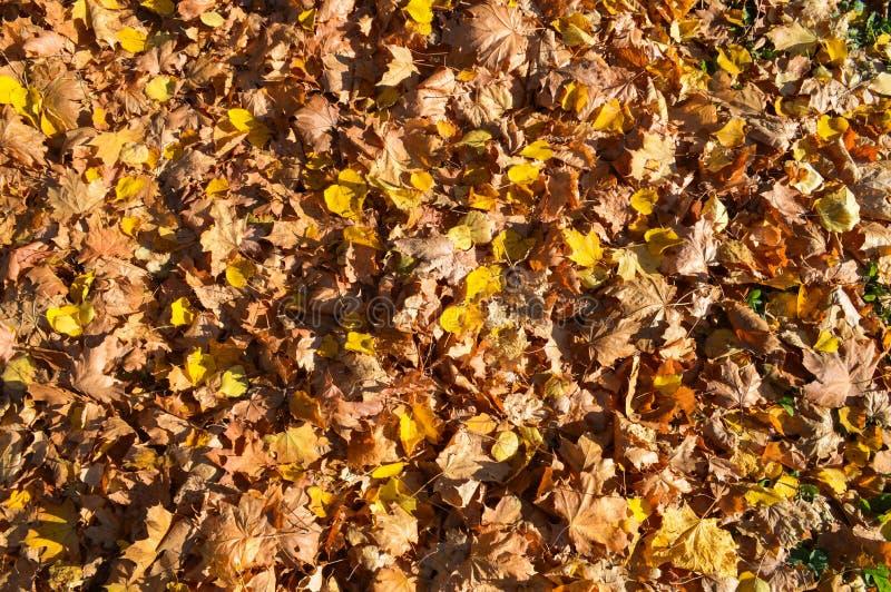Textura, alfombra natural de las hojas rojas amarillo-naranja naturales caidas secas del otoño Los antecedentes fotos de archivo libres de regalías