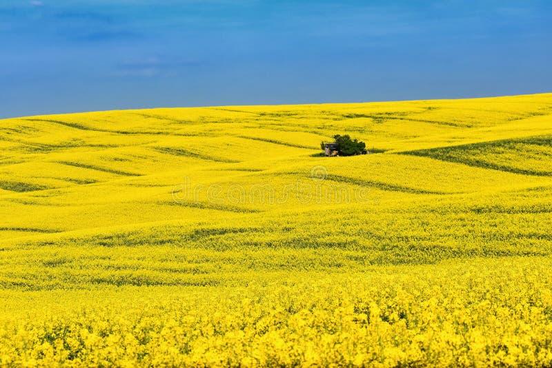 Textura amarela natural do fundo Campo da colza da mola Paisagem em Moravia sul perto da cidade de Kyjov República Checa - Europa imagem de stock royalty free