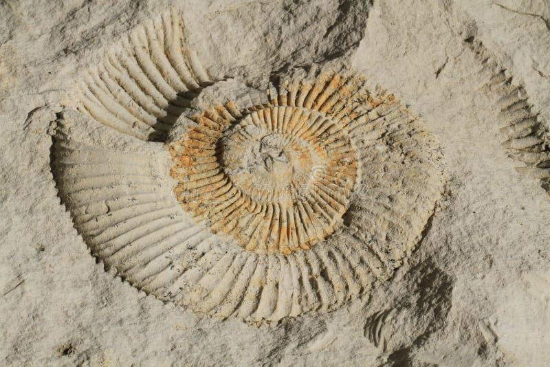 textura animal de la amonita fotografía de archivo libre de regalías