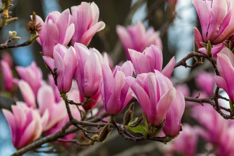 Textura bonita de flores do magnolio sobre o céu azul foto de stock