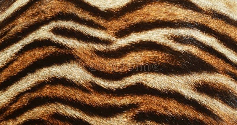 Textura bonita do fundo da pele do tigre imagem de stock