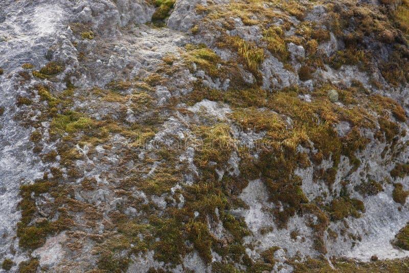 Textura cinzenta verde do musgo na pedra grande imagens de stock