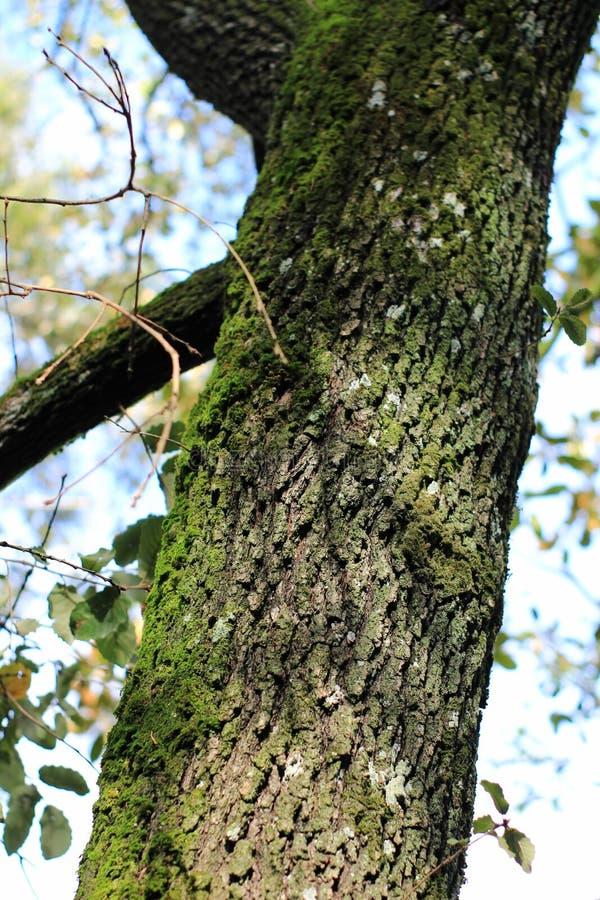 Textura colorida da casca de árvore com musgo fresco foto de stock royalty free