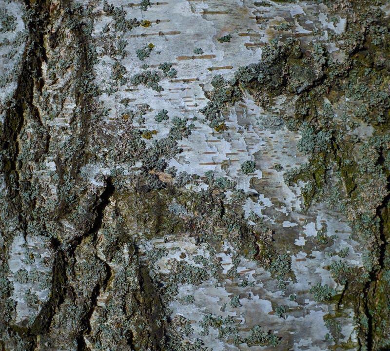 Textura colorida del árbol de corteza de abedul con el musgo azul foto de archivo libre de regalías