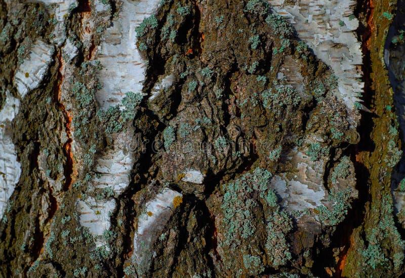 Textura colorida del árbol de corteza con el musgo azul imagenes de archivo