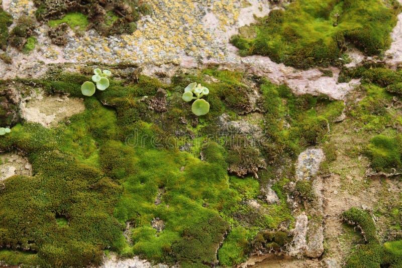 Textura colorida do musgo na pedra cinzenta fotos de stock royalty free