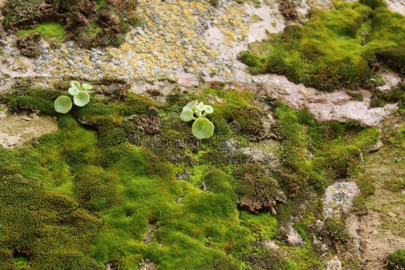 Textura colorida do musgo na pedra cinzenta foto de stock