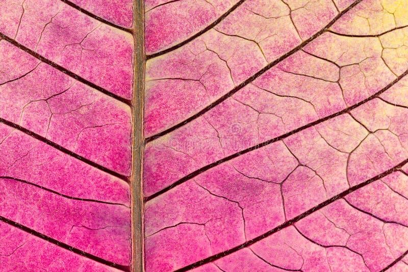 Textura com as veias da folha da flor murcho da poinsétia imagem de stock