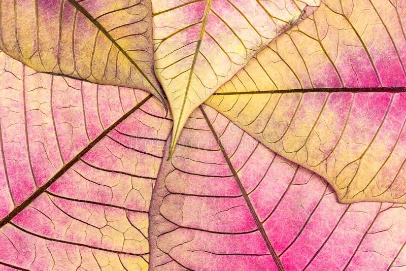 Textura com as veias da folha da flor murcho da poinsétia imagens de stock royalty free