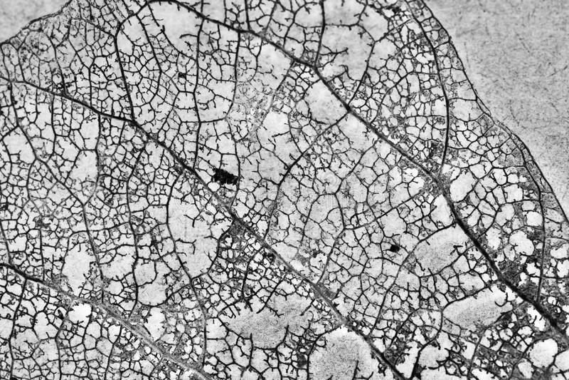 Textura con las hojas putrefactas con las fibras de una hoja fotos de archivo