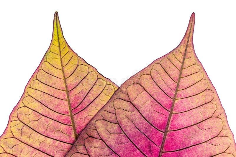 Textura con las venas de la hoja de la flor marchitada de la poinsetia foto de archivo