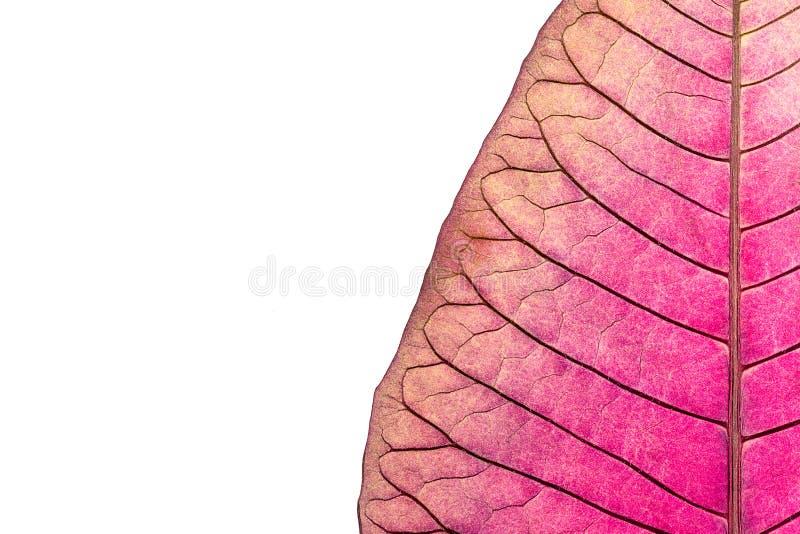 Textura con las venas de la hoja de la flor marchitada de la poinsetia imagenes de archivo