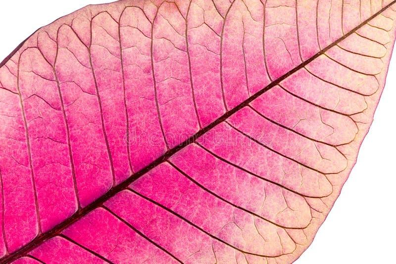 Textura con las venas de la hoja de la flor marchitada de la poinsetia fotografía de archivo libre de regalías